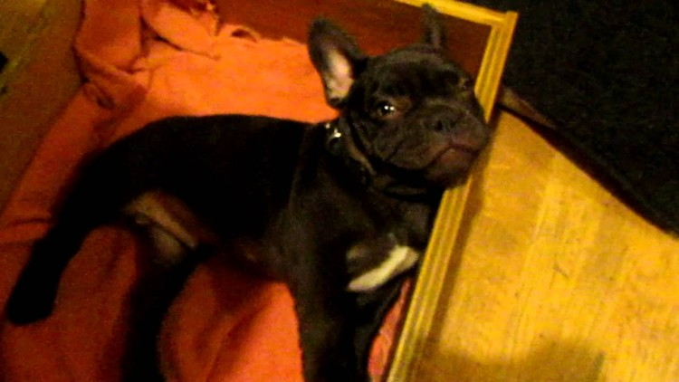 Watching this little french bulldog get ready for bed is pure CUTENESS OVERLOAD