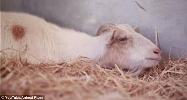 Watch this heartwarming story about the friendship between Mr. G the goat and Jellybean the burro!