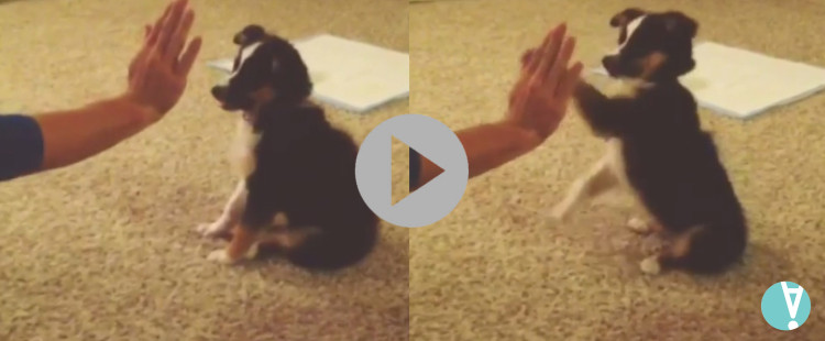 Fluffy Puppy Shows Off His Tricks For The First Time