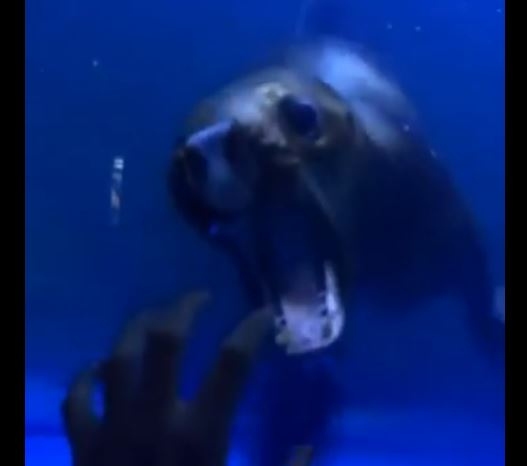 Sea Lions Is Determined To Get This Guy's Hand And It Is Hilarious