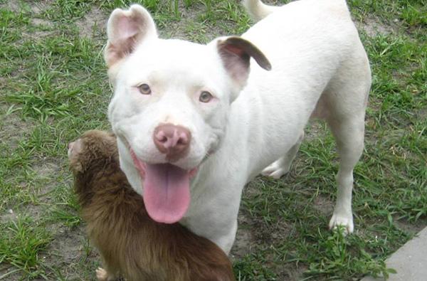 pitbull chihuahua 2