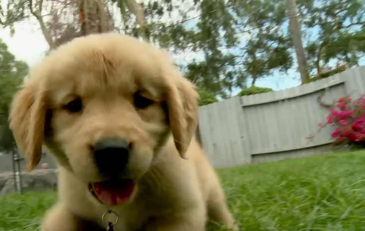 Golden Retriever Puppies Just Frolicking Around Doing Puppy Things And Melting Your Heart With Their Cuteness.
