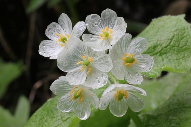 Crazy Science: Flower's White Petals Become Beautifully Clear When Doused With Rain Drops
