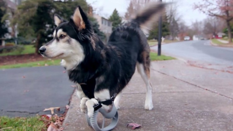 After Getting 3D Printed Legs, Derby The Dog Runs For The First Time In His Life