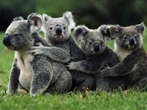 Koala group hug